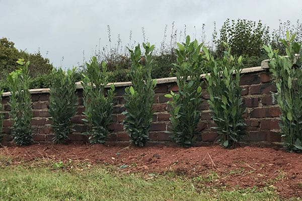 Hedge planting services by Kneebone Trees