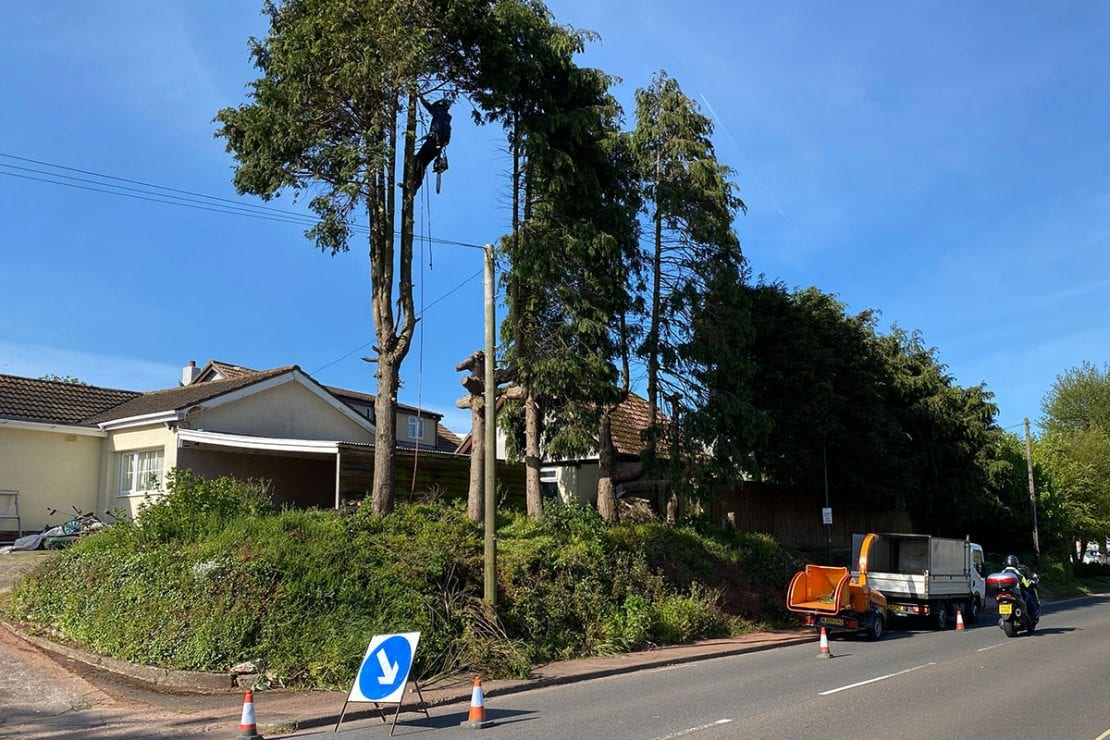Dangerous Tree being removed  by tree climber